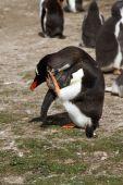 Gentoo penguin view — Stock Photo