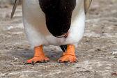 Gentoo penguin feet — Stock Photo