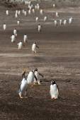 Gentoo Penguins coming home from fishing — Foto de Stock