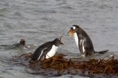 Gentoo Penguins fighting — Stock Photo