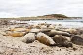 Southern elephant seal colony — Stock Photo
