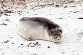 Southern elephant seal, Falkland Islands — Stockfoto