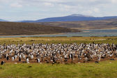 Gentoo penguin colony, falkland islands — Stockfoto