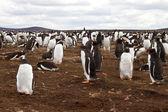 Gentoo penguin colony, falkland islands — Stock Photo