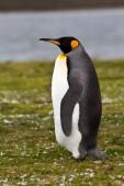 King Penguin view — Stock Photo