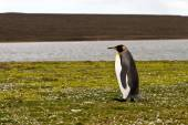 King Penguin view — Stock Photo