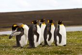 Young King Penguins view — Stock Photo
