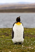 Young King Penguin view — Stock Photo