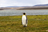 Lonely King Penguin view — Stock Photo
