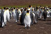 King Penguin colony view — Stock Photo