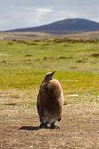 King Penguin chick — Stock Photo