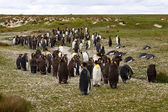 King Penguin colony — Stock Photo