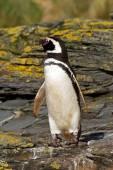 Magellanic Penguin close up — Stock Photo