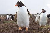 Gentoo Penguin colony — ストック写真