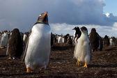 Gentoo Penguin colony — Stock Photo