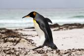King Penguin walking on the beach — Stock Photo