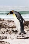 King Penguin walking on the beach — Stock Photo