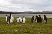 King Penguins view — Stock Photo