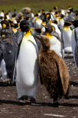 King Penguin colony with chick — Stock Photo