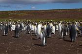 Pingwiny królewskie, Funt Wysp Falklandzkich — Zdjęcie stockowe