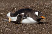 Gentoo penguin view — ストック写真