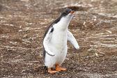 Gentoo Penguin Chick — Stock Photo