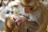 Twee aapjes grooming — Stockfoto