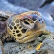 Head of Turtle close up — Stock Photo #73379087