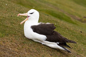 Black-browed Albatross — Stock Photo