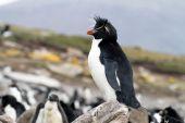 Rockhopper Penguin widok — Zdjęcie stockowe