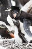 Rockhopper Penguin and chick — Stock Photo