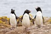 Rockhopper Penguins walking uphill — Stock Photo