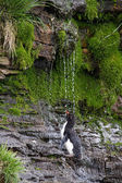 Rockhopper Penguin is taking a shower — Stock Photo