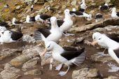 Black-browed Albatross — 图库照片