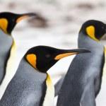 Three King penguins walking on the beach closeup — Stock Photo #78501924