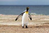 King Penguin — Stock Photo