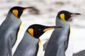 Three King penguins walking on the beach closeup — Stock Photo