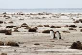 Lonely Pair of Gentoo Penguins — Stock Photo