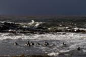 Magellanic Penguins swimming in the arctic sea — Stock Photo