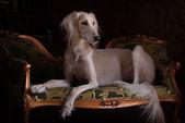 Persian Greyhound Saluki in Royal interior — Stock Photo