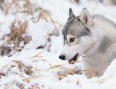 Siberian husky dog winter portrait — Stock Photo