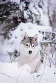 Purebred husky in winter — Stock Photo