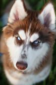 Husky portrait — Stock Photo