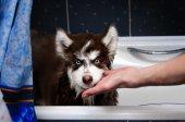 Lustige husky Hund im Badezimmer — Stockfoto