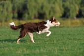 Border collie doing tricks in the Park — Stock Photo