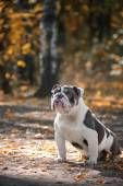 A lilac color English Bulldog sits on a bed of autumn leaves. — Stock Photo