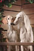 木製の壁の背景に 2 匹の犬のロマンチックな肖像画 — ストック写真