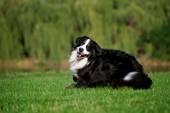 Šťastný pes skákání běží na letní road — Stock fotografie