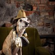 Dog breeds Whippet in the clothes of a soldier in the Studio — Stock Photo #74945625