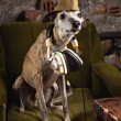 Dog breeds Whippet in the clothes of a soldier in the Studio — Stock Photo #74945631